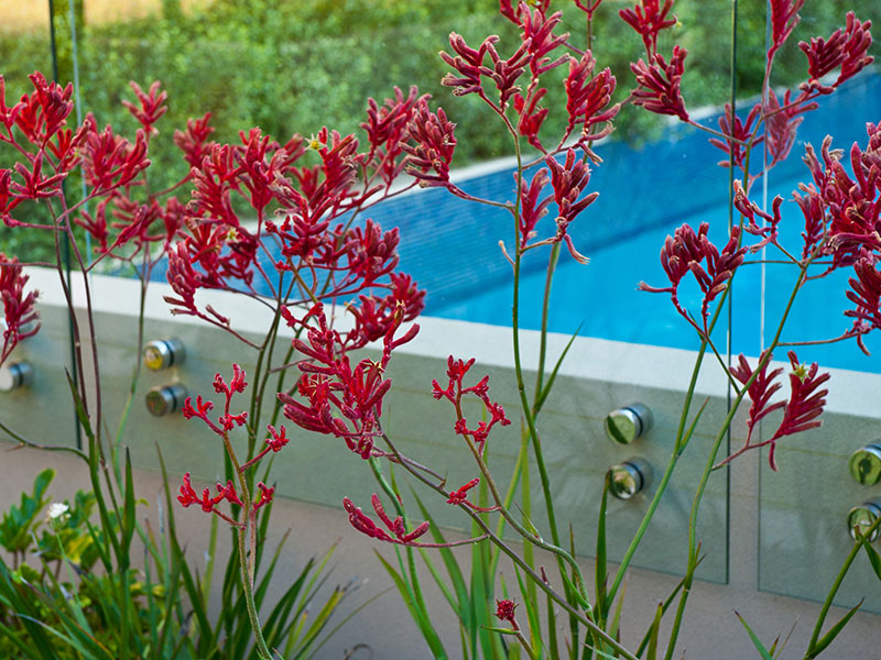 big red kangaroo paws and swimming pool