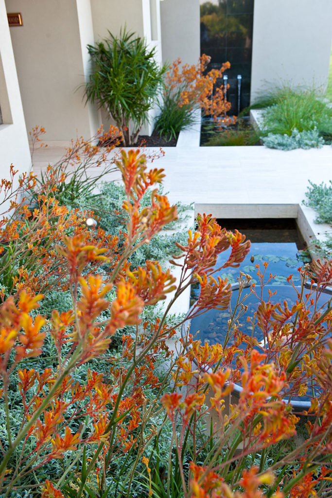 kangaroo paws and native plants front garden in dalkeith
