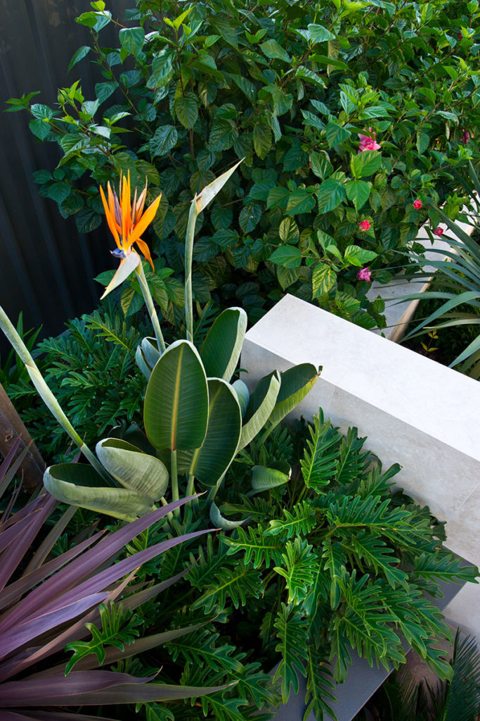 Bird of Paradise in beautiful modern garden