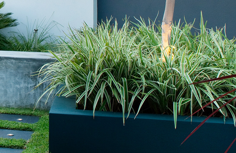 dianella plant in raised garden bed
